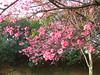 Prunus campanulata tree, taiwan cherry, sao paulo brazil (mauroguanandi) Tags: prunus rosaceae prunuscampanulata mimamorflores auniverseofflowers favouritecapture