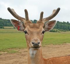 bambi (fluffie-bunnie) Tags: cute eyes antlers wildanimal fallowdeer longleat safaripark