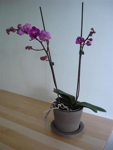 orchidee 200708