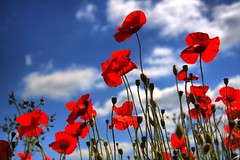dancing poppies (Linda Cronin) Tags: flowers blue red wild sky field kent poppies wildflowers thumbsup soe naturesfinest blueribbonwinner gamewinner mywinners abigfave platinumphoto anawesomeshot aplusphoto 15challengeswinner motifdchallengewinner thatsclassy thechallengegame thechallengegroupgame challengegamewinner damniwishidtakenthat pregamesweepwinner