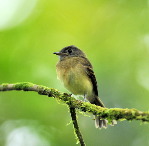 tawny-chested flycatcher by gwashley.