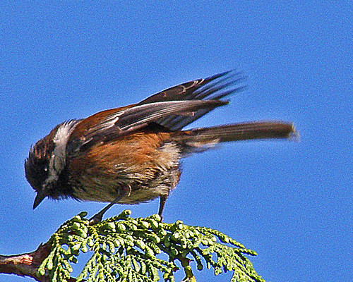 Chestnut-backed Chickadee in Cedar Tree