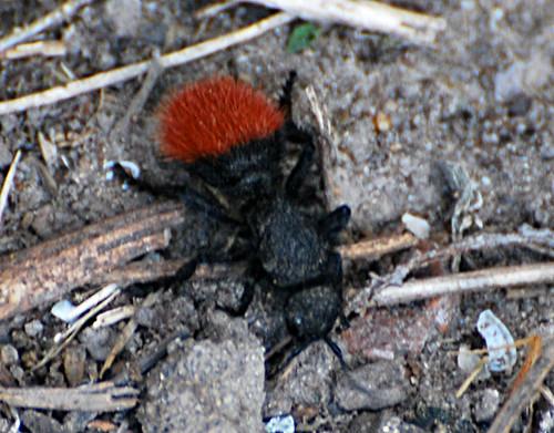 Fuzzy Ant