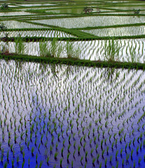 Sawah Sky (edwindejongh) Tags: bali reflection indonesia asia rice paddy ricepaddies ricefield rijst indonesie paddyfields ubud sawah rijstveld aplusphoto paddiefields edwindejongh beautifulbali lpreflections2 rijstteelt fotografieedwindejongh