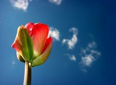 A smoking tulip (Sue323 :-)) Tags: blue red sky white flower green nature clouds canon suomi finland spring maria smoke images tulip sue kerimki luonto laakso sininen punainen kukka taivas blueribbonwinner tulppaani valkoinen visiongroup canonpowershota710is sue323 vision100