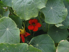 Timida (Andy Murray.) Tags: chile red plant flower verde green planta rojo flor oculta unedited timid antofagasta timida sineditar