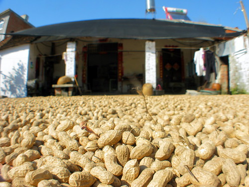 Peanuts drying on roadside near Tongbai, Henan Province, China