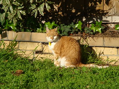 are you looking at me? (louisa_catlover) Tags: pet white home grass sunshine cat garden ginger backyard feline lawn abigail alert catnipaddicts camfnov08