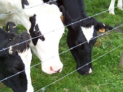 vaches belges car le barbelés c'est la frontière d'état .