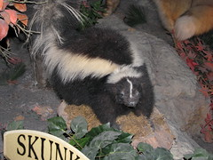 Striped Skunk (Mephitis mephitis) - display