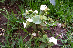 Jasmin (mr_whittemore) Tags: garden heredia