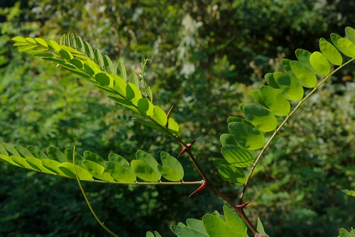 Robinia young tree