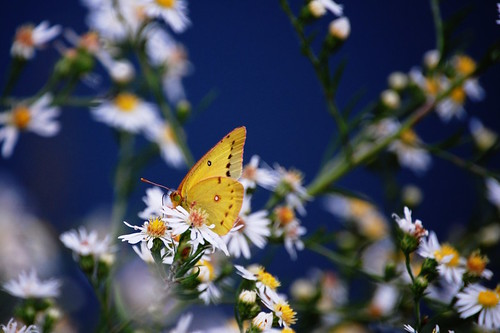 Orange Sulphur on blue