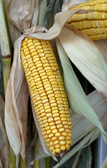 Colors of autumn: yellow (i Catch) Tags: autumn yellow jaune automne corn market montreal mais atwater cobb dried marché seché blédinde mghayar