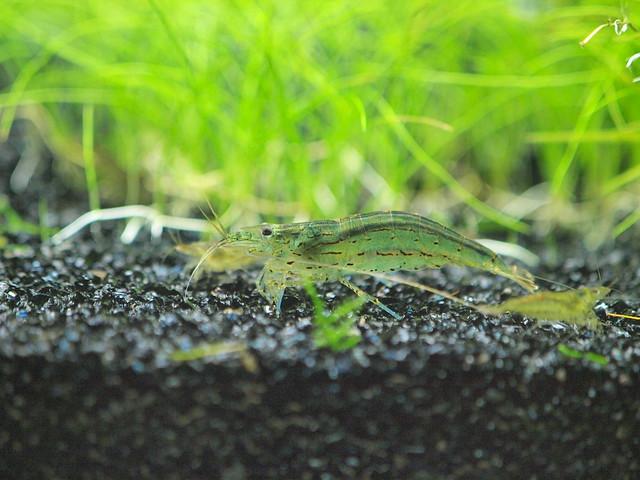 PA073241-1 大和藻蝦