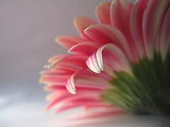 gerbera ( Graa Vargas ) Tags: pink flower gallery explore gerbera interestingness393 i500 graavargas 2008graavargasallrightsreserved 80458190210 102658090211