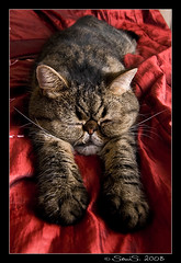 sleepyhead II (pr0mille) Tags: sleeping cat finland helsinki nikon tokina sleepyhead kissa d300 nestori nikond300 tokina1116mm