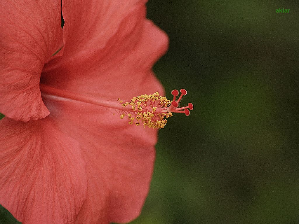Hibiscus Serie 7 Version 5
