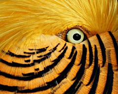 Happy Feathery Friday flirting (Nancy Rose) Tags: bird eye yellow colorful pheasant feathers oaklawn hff abigfave redgoldenpheasant avianexcellence vosplusbellesphotos onnaturalexcellencefrontpagefornovember