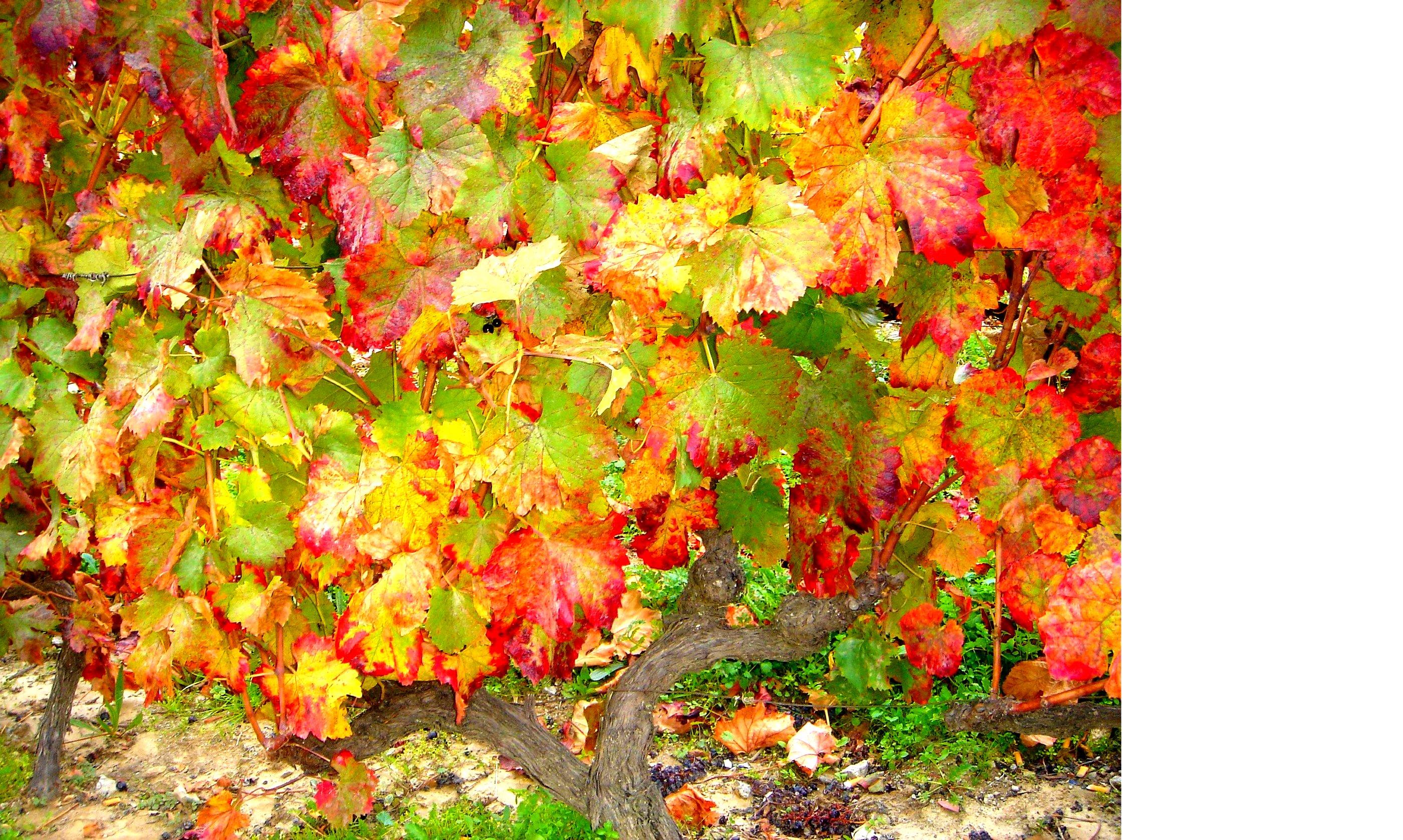 Vine after harvest
