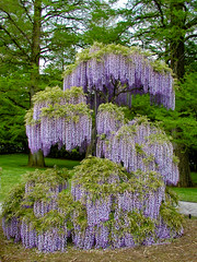 BK222 Wisteria (listentoreason) Tags: usa plant flower nature america unitedstates pennsylvania favorites places olympus fabaceae longwoodgardens wisteria floweringplant angiospermae dicot magnoliophyta magnoliopsida angiosperm fabales score30 millettieae faboideae olympusc4040z c4040z eudicot eudicotyledon