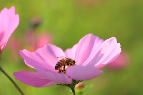 Cosmos & Honeybee ^^