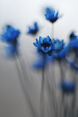 blue flowers (AlexEdg) Tags: november flowers blue autumn macro dof bokeh 60mm 2008 alexedg alledges nikond300