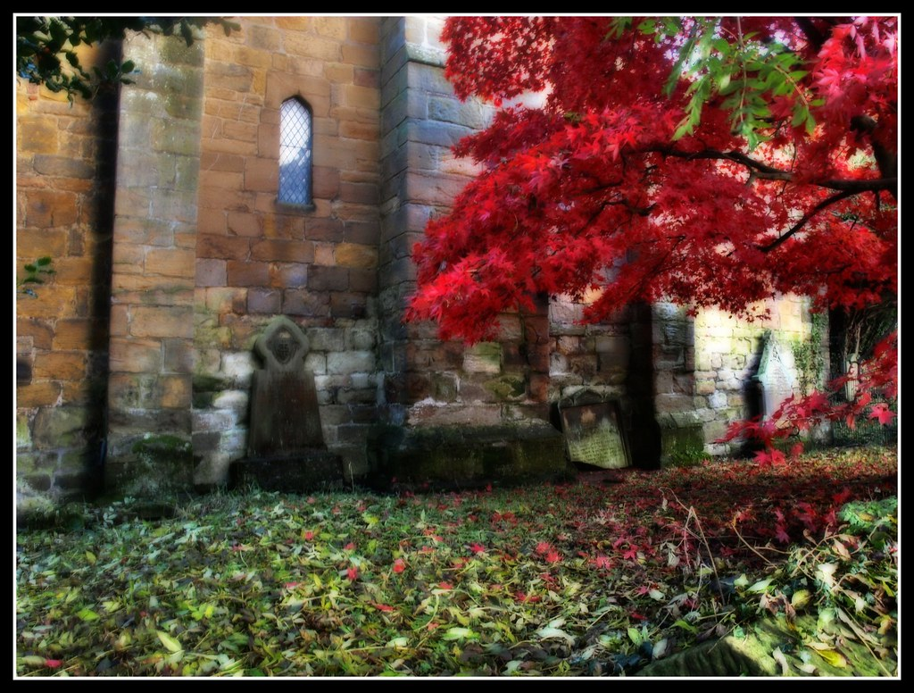 Maple Tree - Bothal Church