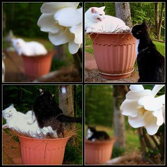 Selfish Chappy Takes Over the Coveted Pot (Gail S) Tags: fdsflickrtoys catfight thepuss chappycat