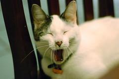 [フリー画像] [動物写真] [哺乳類] [ネコ科] [猫/ネコ] [欠伸/あくび]      [フリー素材]