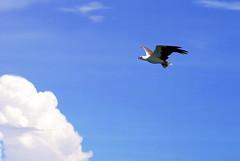 White-bellied Sea Eagle (Jhan) Tags: bird malaysia langkawi soe vogel maleisie brahminykite flickrsbest mywinners abigfave platinumphoto anawesomeshot aplusphoto wenjo13 platinumheartaward