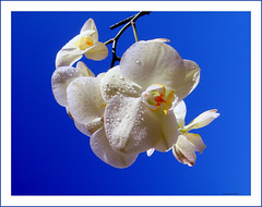Joy and en .. joy! ... (juntos ( MOSTLY OFF)) Tags: flowers me nature orchids joy delicate flowerbasket naturesfinest firstquality magicdonkey 50faves mywinners visiongroup infinestyle excellenceinflowerphotography naturescreation empyrianflowers heartsawards overtheexcellence betterthangood theperfectphotographer unfinestyle superheartsqualified multimegashot imagesonblue imageonblue extraordinaryphotography flickrplatiniumgroup highqualitypictures lesamiesdupetitprince saariysqualitypictures saarysqualitypictures macroflowersawards spirtitofphotography perceptiongroup oraclex25 heatrsawards oraclex50 worldnaturenwilstyle flowerquest weirenesflowersfaves theoracleofsuprememuses masterlightpainter arsticphotogaphy artforthart