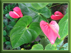 Our potted rosy-pink Anthurium andraeanum, September 2008