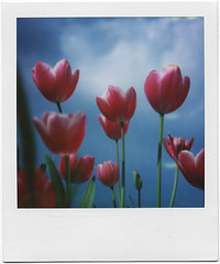 .rinascita. (andrenzo) Tags: red sky flower color love film composition polaroid sx70 photography photo many dream tulip dreams instant intro 70 varese pola blend sx pellicola tulipani introcoso andrenzo andreacolombo istantanean introvertevent colomboandrea