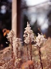 Fluffies (Airchinapilot) Tags: plant film kodak160vc mamiya645protl