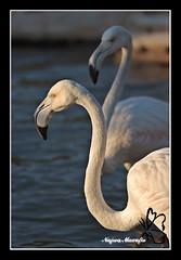 Flamingo (Najwa Marafie - Free Photographer) Tags: flamingo kuwait 2008 najwa chabd aplusphoto nonoq8 marafie