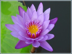 Blooming lotus in peaceful mind... (Thai Jasmine (Smile..smile...Smile..)) Tags: green smile thailand purple lotus chonburi peacefulmind thankyousomuchforeverything vosplusbellesphotos