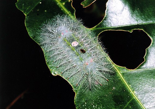 A caterpillar (Limacodidae)