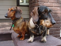 Dog 1 Dog 2 Detectives Inc.-2 (adp777) Tags: dog dachshund wirehairdachshund photofaceoffwinner pfosilver goombaboy chickipoo startswiththeletterr