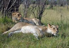 Lionesses, Maasai Mara, Kenya