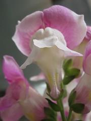 Snapdragon (guzhengman) Tags: pink flower hongkong january 2008 antirrhinum snapdragon majus centraldistrict antirrhinummajus 金魚草 玄參科 scrophularaceae