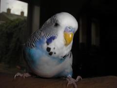 Wot u lookin' at? (Adam Rocks) Tags: bird budgie