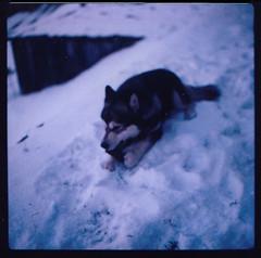 loup qui mange un lapin (martin matin) Tags: dog chien blur color 6x6 mediumformat polaroid husky hasselblad flou 100iso