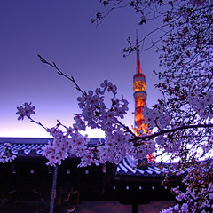 Tokyo Tower Sakura (shinnygogo) Tags: sunset sky flower tower nature japan closeup night outdoors photography tokyo spring twilight nopeople illuminated communication growth  cherryblossom  sakura tokyotower lightup    hdr japaneseculture  freshness zojoji selectivefocus  communicationstower     shibakoen  tokyoprefecture capitalcities  traveldestinations colorimage  famousplace fragility photomatix beautyinnature  interestingness21 i500       2008cal geo:lat=35657321 geo:lon=139749173