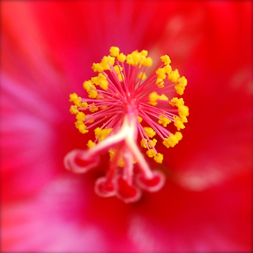 Fireworks of Hibiscus