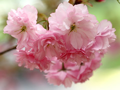Nature's Bouquet (~Kerry Murphy) Tags: pink flowers macro tree nature cherry spring blossoms 100mm 30d