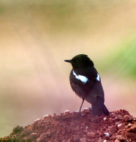 pied bushchat valley schl 190408