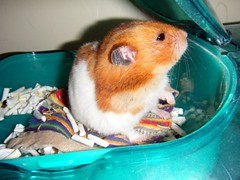20080427 - 02 (kayako_) Tags: hamster pon