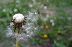After (erinsy) Tags: weed dandelion seeds makeawish