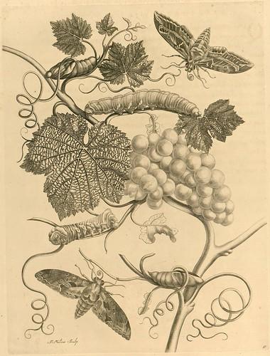 Metamorphosibus Insectorum Surinamensium (p103)